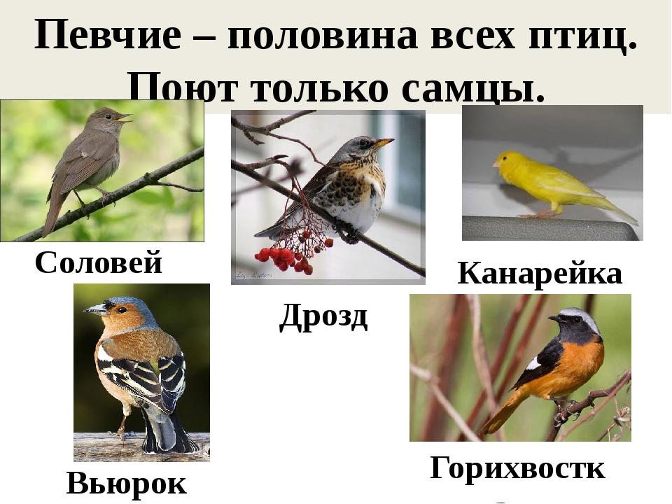 Певчие – половина всех птиц. Поют только самцы. Соловей Дрозд Канарейка Вьюро...