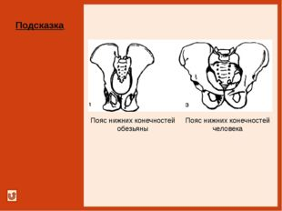 Сравни размеры и массу костей Подсказка Скелет нижней и верхней конечностей ч