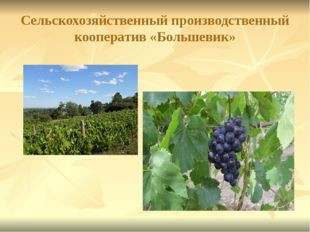 Сельскохозяйственный производственный кооператив «Большевик»