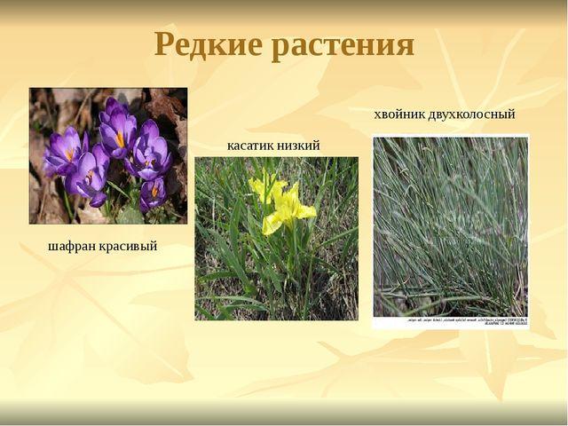 Редкие растения шафран красивый касатик низкий хвойник двухколосный