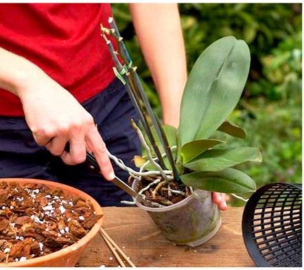 Как удобрить орхидею в домашних условиях видео