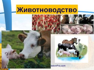 www.PresentationPro.com Животноводство