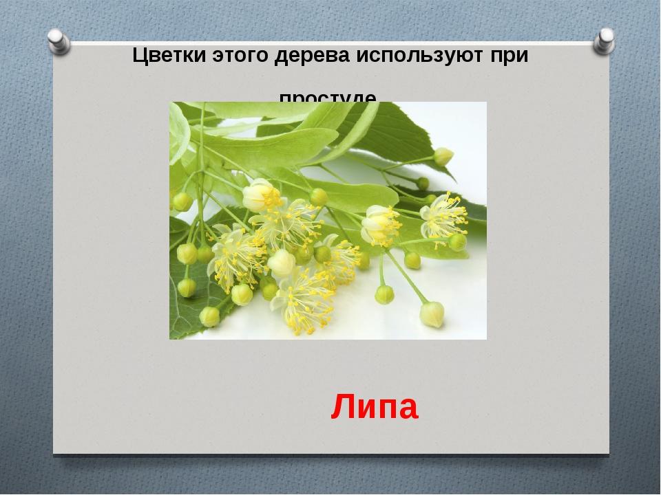 Цветки этого дерева используют при простуде. Липа