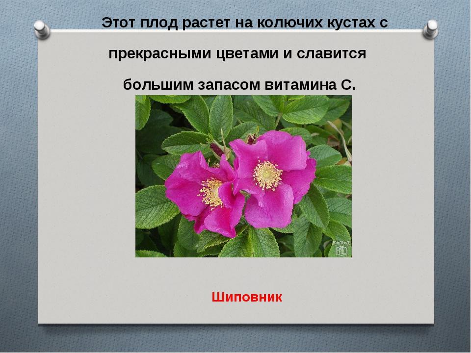 Этот плод растет на колючих кустах с прекрасными цветами и славится большим з...