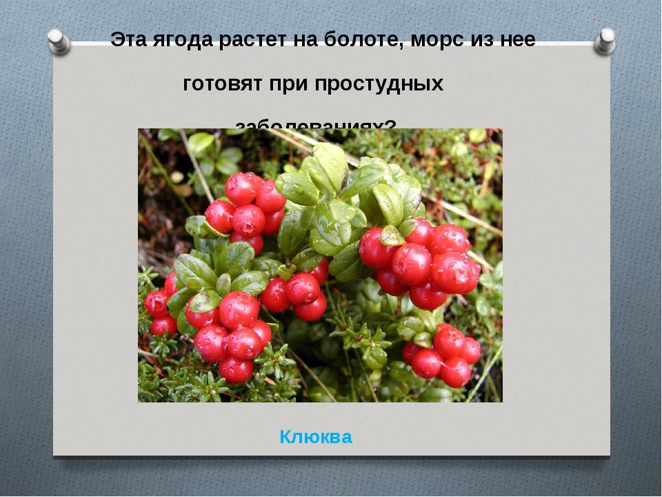 Эта ягода растет на болоте, морс из нее готовят при простудных заболеваниях?...