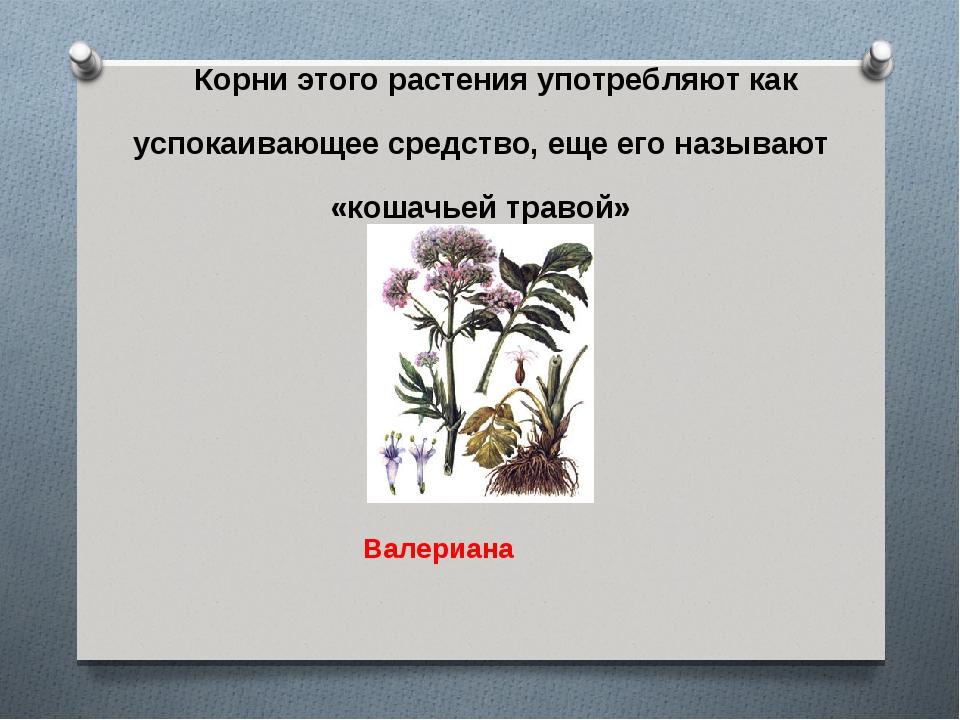 Корни этого растения употребляют как успокаивающее средство, еще его называют...
