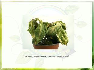 Как вы думаете, почему завяло это растение?