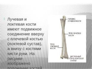 Лучевая и локтевая кости имеют подвижное соединение вверху с плечевой костью