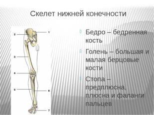 Скелет нижней конечности Бедро – бедренная кость Голень – большая и малая бер