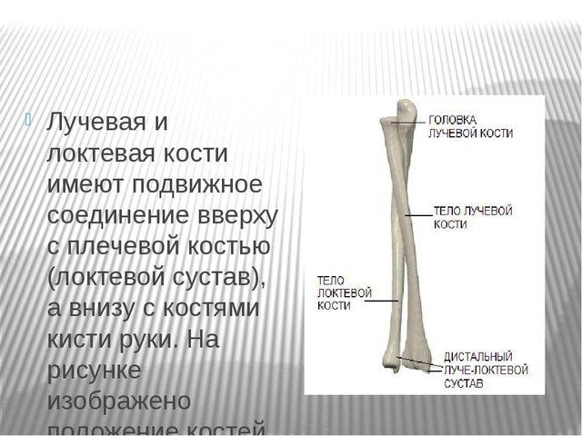 Лучевая и локтевая кости имеют подвижное соединение вверху с плечевой костью...