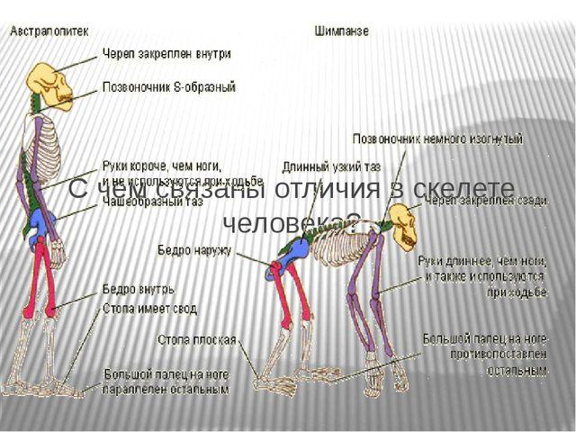 С чем связаны отличия в скелете человека?