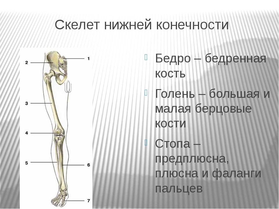 Скелет нижней конечности Бедро – бедренная кость Голень – большая и малая бер...