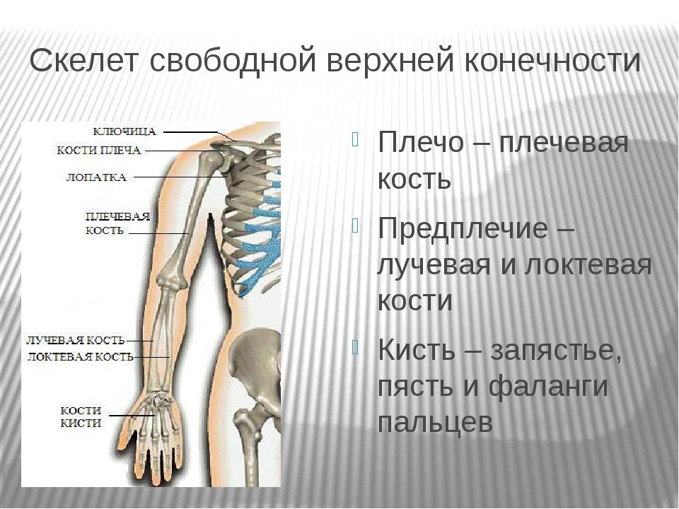 Скелет свободной верхней конечности Плечо – плечевая кость Предплечие – лучев...