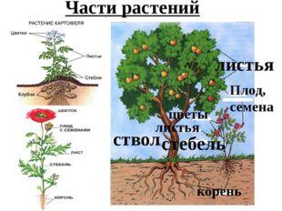 Части растений корень ствол стебель листья листья цветы Плод, семена