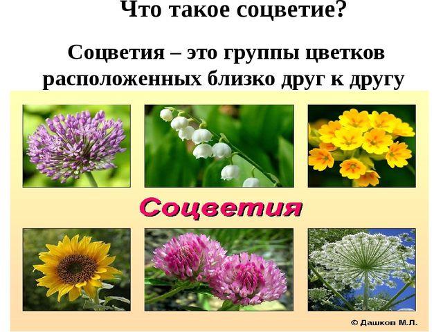 Соцветия – это группы цветков расположенных близко друг к другу Что такое со...