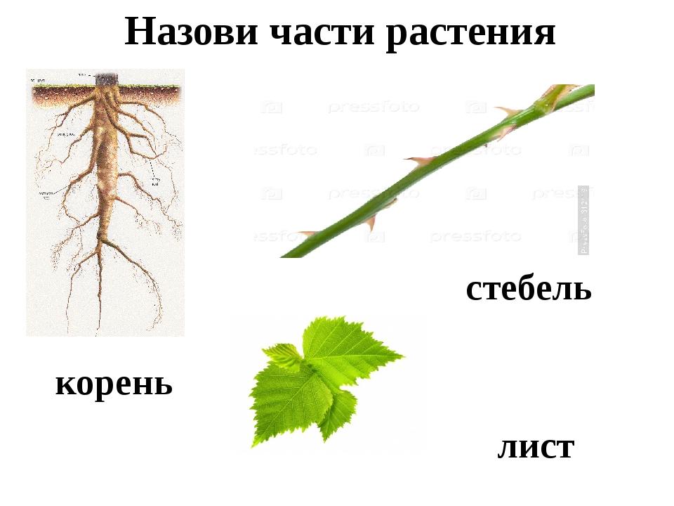 Назови части растения корень стебель лист