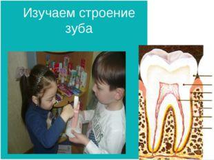 Изучаем строение зуба
