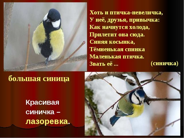 большая синица Большая синица Красивая синичка – лазоревка. Хоть и птичка-нев...