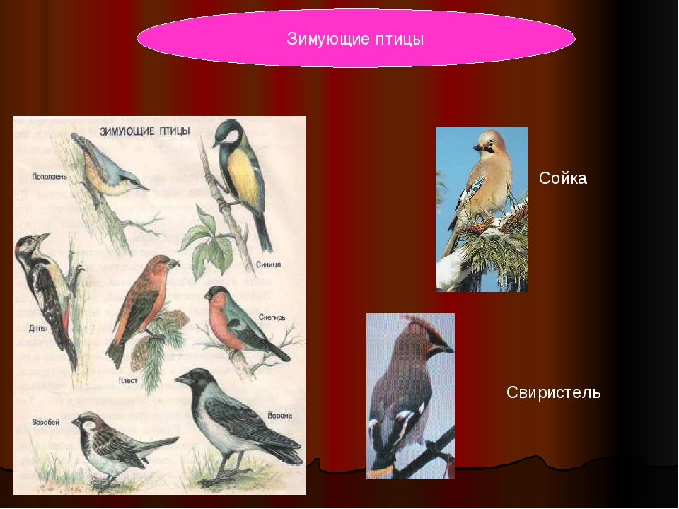 Свиристель Сойка Зимующие птицы