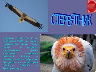 Средняя птица до 2 кг, оголённая кожа на «лице» оранжевого цвета. Чаще парит