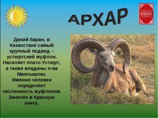 Дикий баран, в Казахстане самый крупный подвид – устюртский муфлон. Населяет