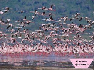 Колония фламинго