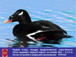Редкая птица. Ноздри продолговатые, округлённые. Чётко выражен чёрный нарост