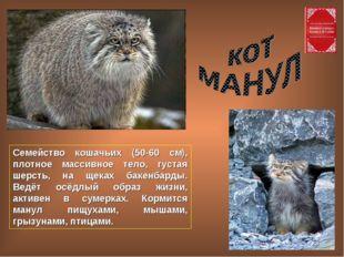 Семейство кошачьих (50-60 см), плотное массивное тело, густая шерсть, на щека