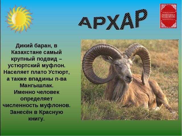 Дикий баран, в Казахстане самый крупный подвид – устюртский муфлон. Населяет...