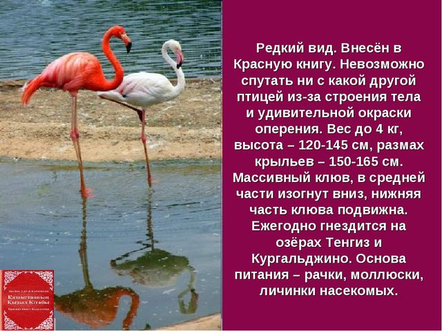 Редкий вид. Внесён в Красную книгу. Невозможно спутать ни с какой другой птиц...