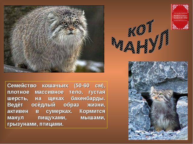 Семейство кошачьих (50-60 см), плотное массивное тело, густая шерсть, на щека...