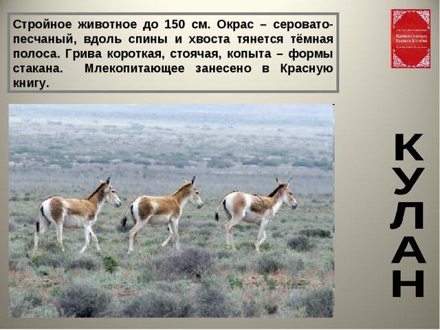 Стройное животное до 150 см. Окрас – серовато-песчаный, вдоль спины и хвоста...