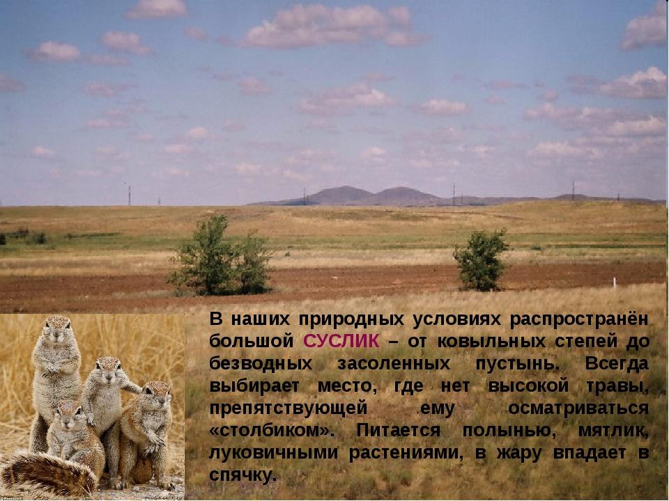 В наших природных условиях распространён большой СУСЛИК – от ковыльных степей...