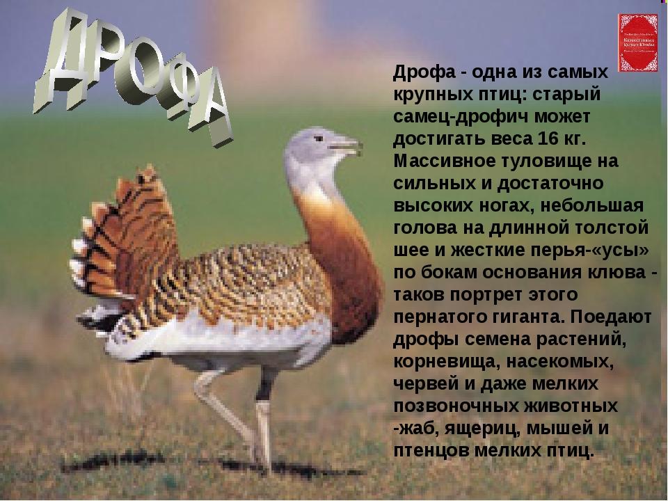 Дрофа - одна из самых крупных птиц: старый самец-дрофич может достигать веса...