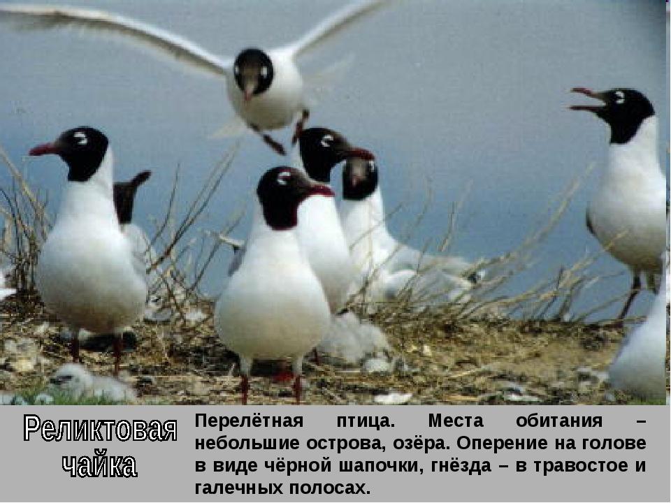 Перелётная птица. Места обитания – небольшие острова, озёра. Оперение на голо...