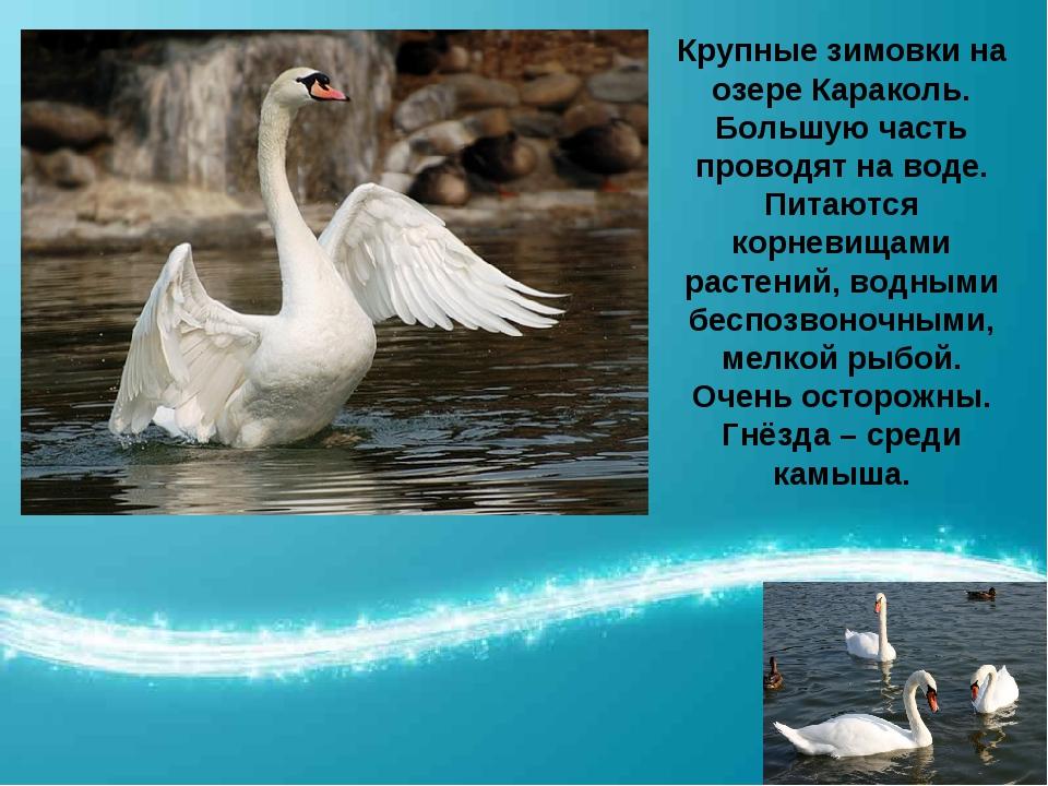 Крупные зимовки на озере Караколь. Большую часть проводят на воде. Питаются к...