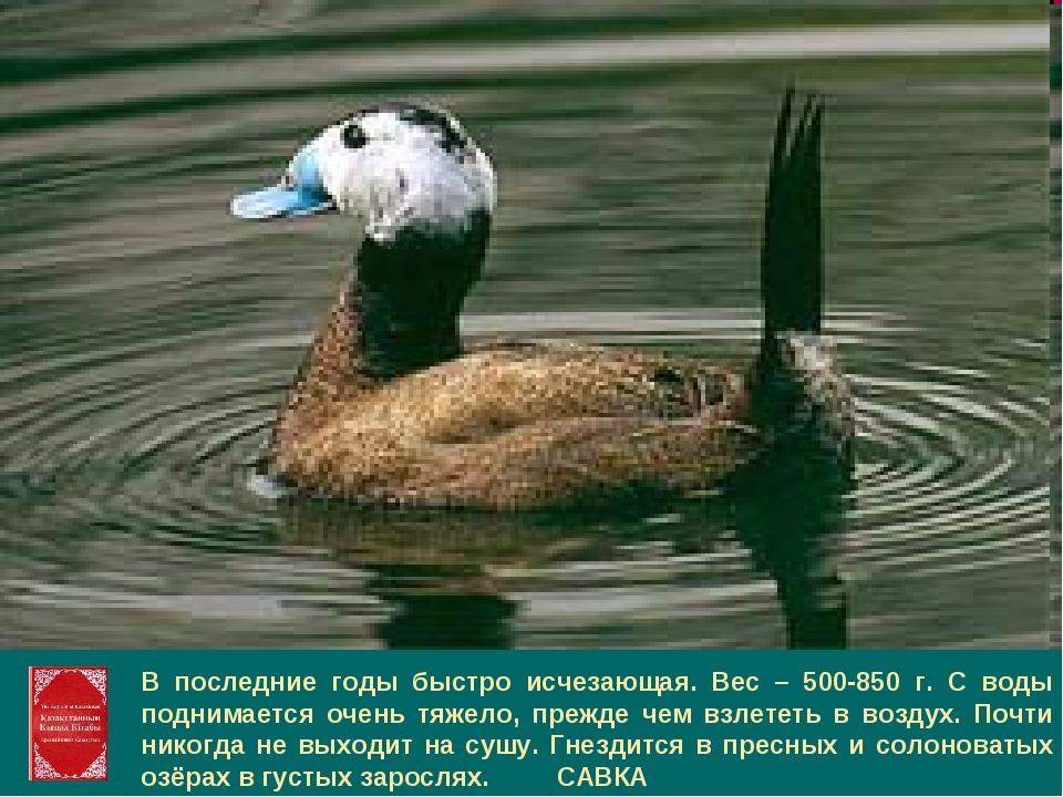 В последние годы быстро исчезающая. Вес – 500-850 г. С воды поднимается очень...