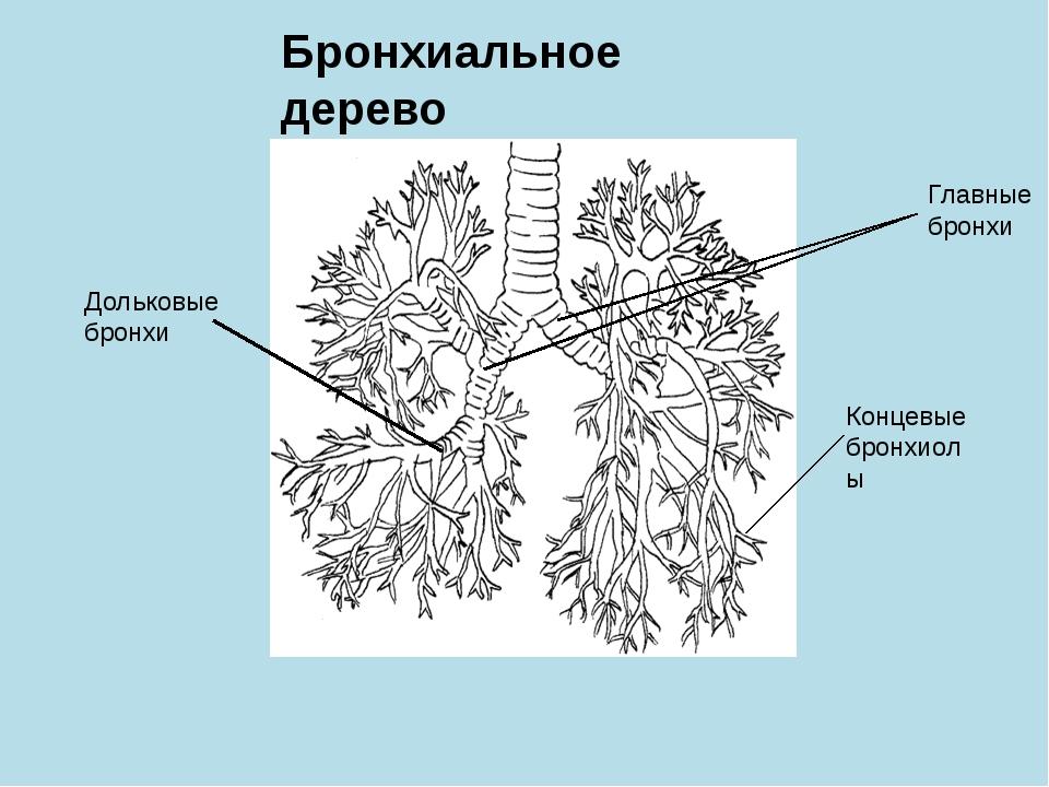 Бронхиальное дерево Главные бронхи Концевые бронхиолы Дольковые бронхи