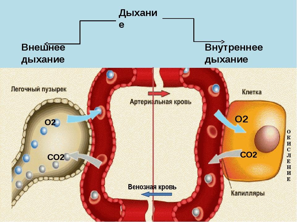 ОКИСЛЕНИЕ О2 СО2 О2 СО2 Внутреннее дыхание Внешнее дыхание Дыхание Венозная к...
