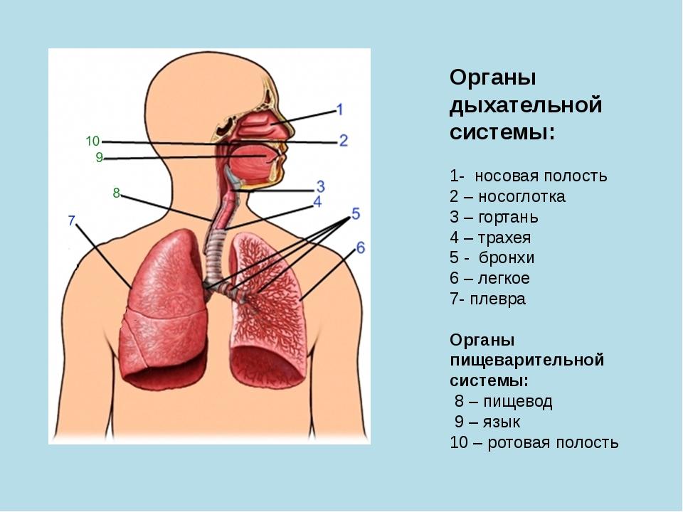 Органы дыхательной системы: 1- носовая полость 2 – носоглотка 3 – гортань 4 –...