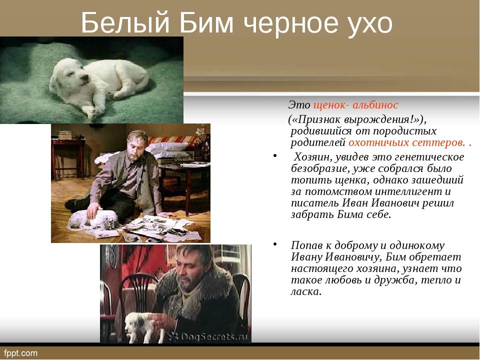 Белый Бим черное ухо Это щенок- альбинос («Признак вырождения!»), родившийся...