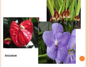Орхидея Дракула Антуриум