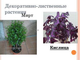 Декоративно-лиственные растения т Мирт Кислица