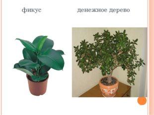 фикус денежное дерево