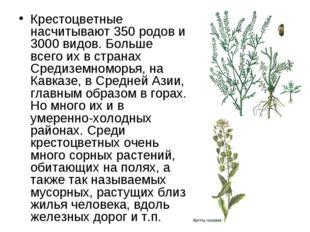 Крестоцветные насчитывают 350 родов и 3000 видов. Больше всего их в странах С