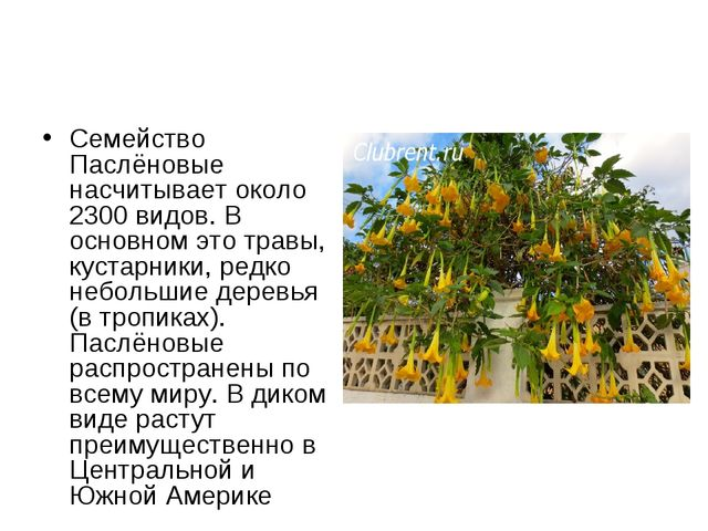 Семейство Паслёновые насчитывает около 2300 видов. В основном это травы, куст...