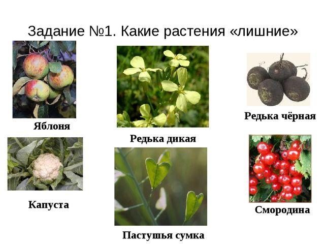 Задание №1. Какие растения «лишние» Редька чёрная Яблоня Капуста Смородина Ре...