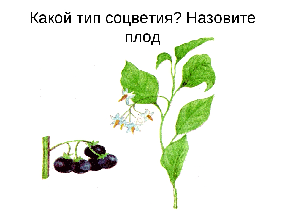 Какой тип соцветия? Назовите плод