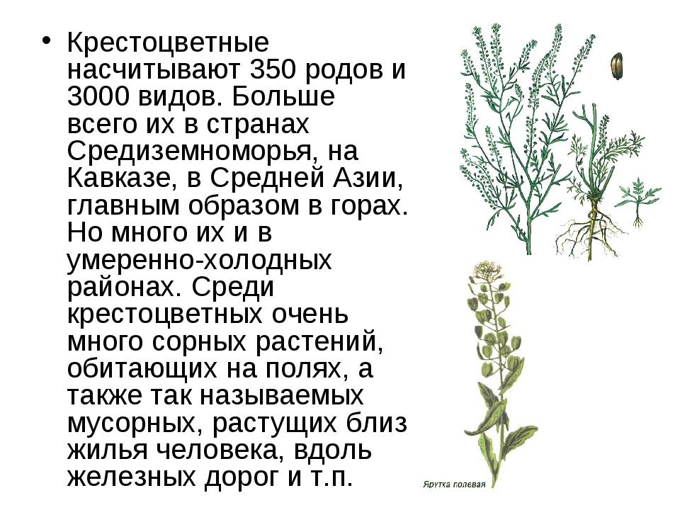 Крестоцветные насчитывают 350 родов и 3000 видов. Больше всего их в странах С...