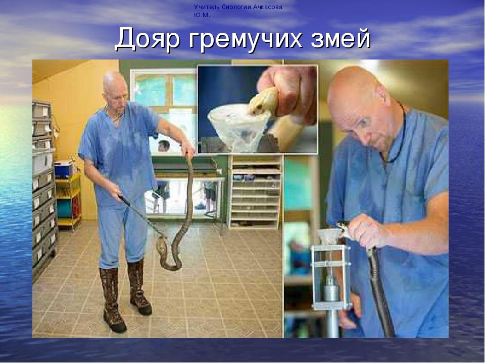 Дояр гремучих змей Учитель биологии Ачкасова Ю.М.